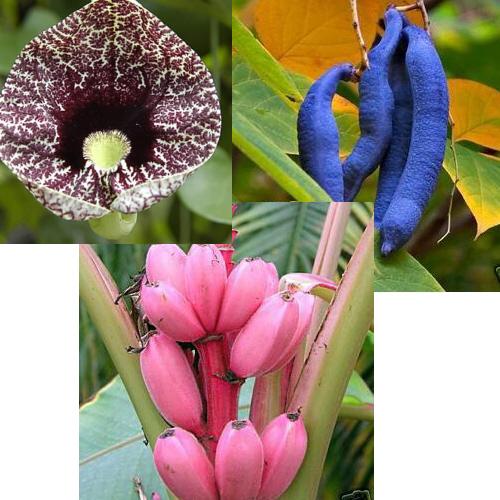 gespensterpflanze blaugurke rosa banane pflanzen die nicht jeder hat ebay. Black Bedroom Furniture Sets. Home Design Ideas