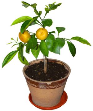 Mandarinenbaum früchte essbar