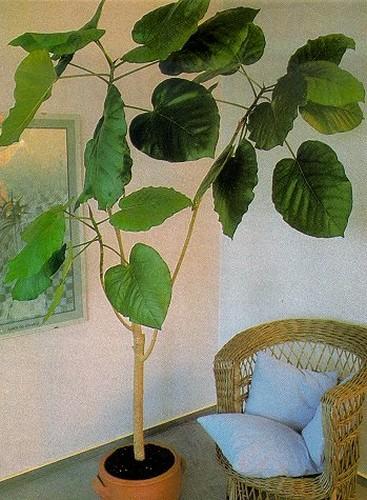 gesucht ficus auriculata syn roxburghii das gro e lexikon der zimmerpflanzen. Black Bedroom Furniture Sets. Home Design Ideas