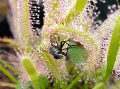 Toller sonnentau fri t ungeziefer aus der k che ebay for Obstfliegen in pflanzen