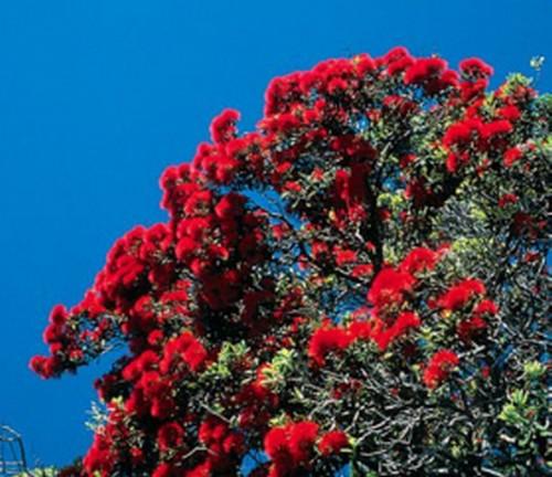 wundersch n als baum oder strauch roter weihnachtsbaum ebay. Black Bedroom Furniture Sets. Home Design Ideas