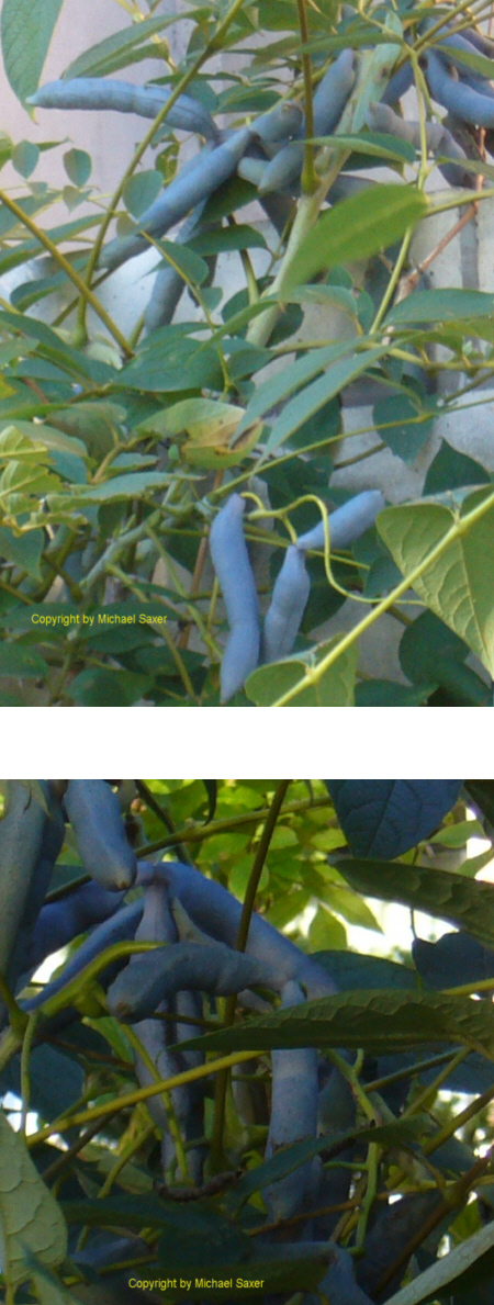 5 mal frosthart winterhart banane blaugurke bambus eukalyptus hanfpalme ebay. Black Bedroom Furniture Sets. Home Design Ideas