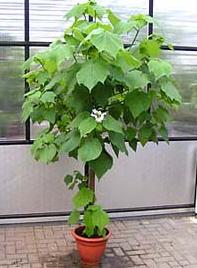 Sch ner baum f r die wohnung luftreiniger zimmerlinde ebay - Rankpflanzen zimmer ...