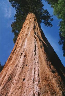 wird bis zu 3000 Jahre alt Bergmammutbaum ! Der Riese